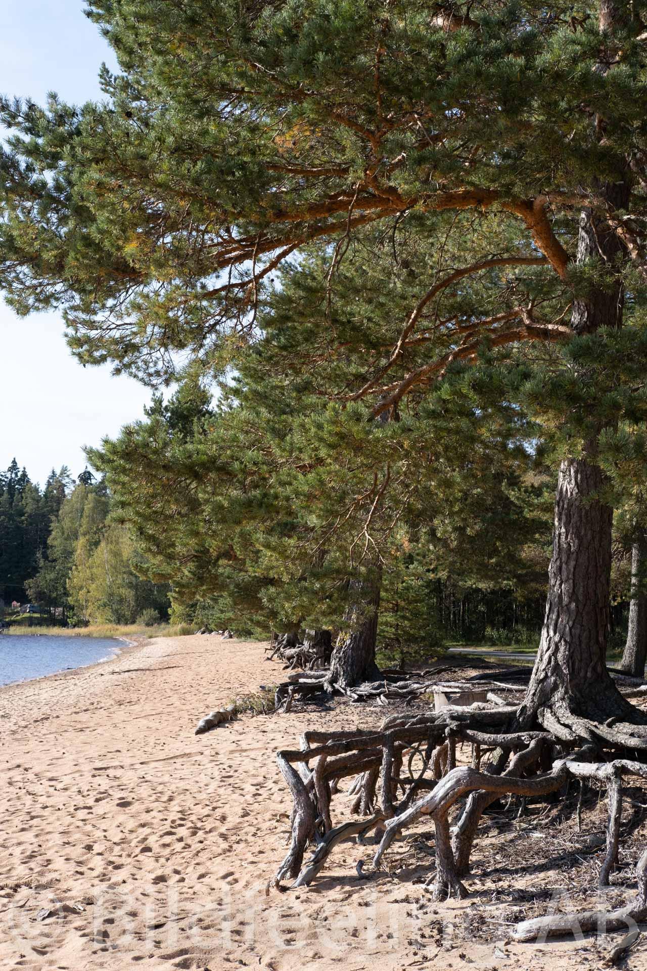 Tallrötter vid strand